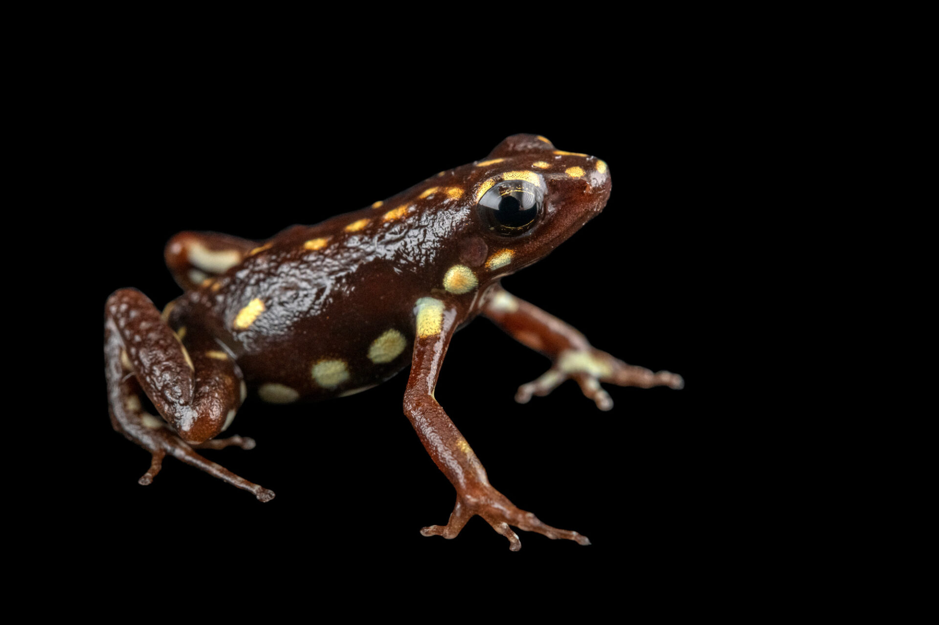 Photo: A pucayacu morph of the Darwin-Wallace poison dart frog (Epipedobates darwinwallacei) at Centro Jambatu in Quito, Ecuador.