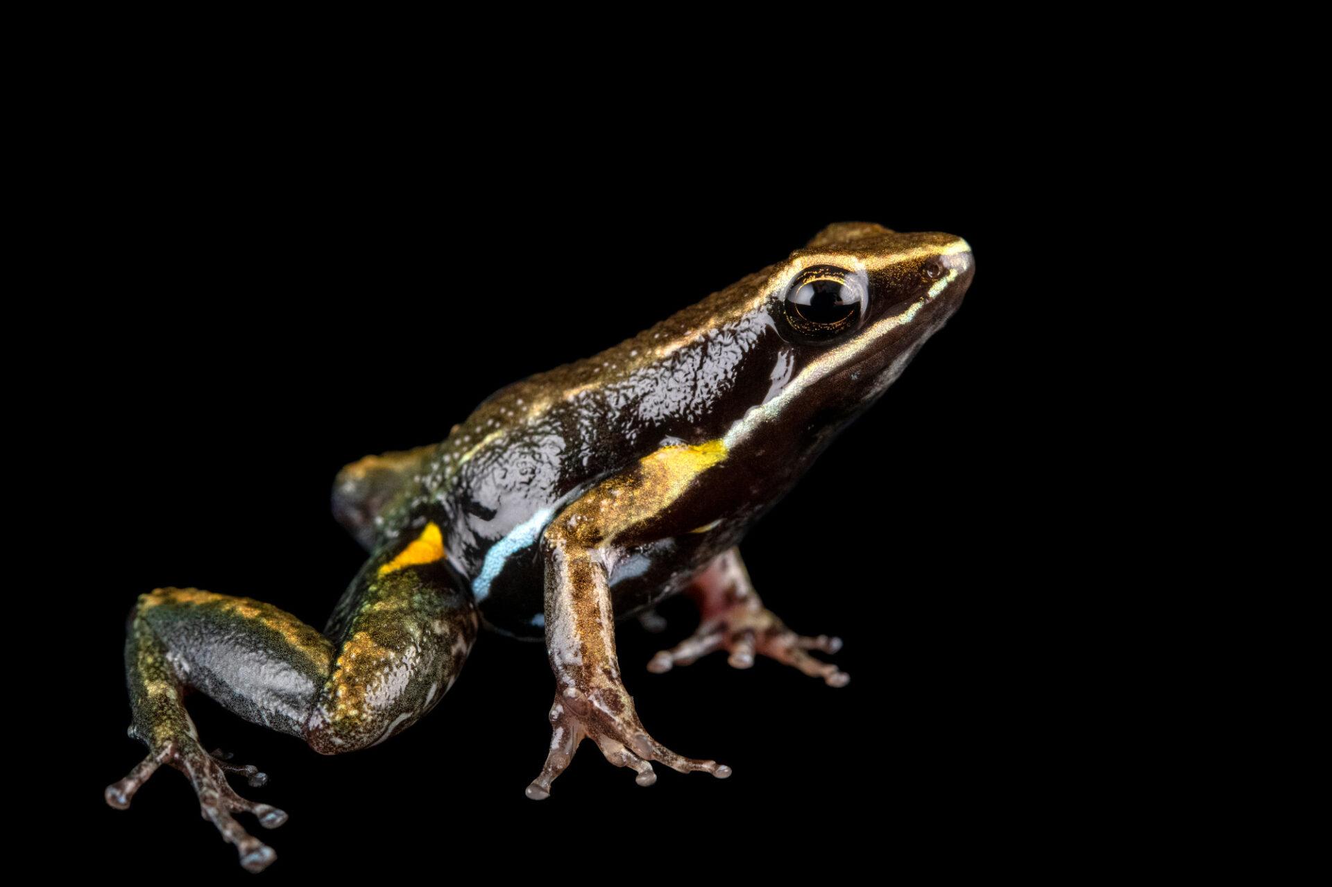 Photo: A pants nurse frog (Allobates femoralis) at Centro Jambatu in Quito, Ecuador.