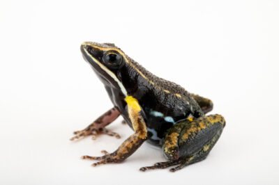 Photo: A pants nurse frog (Allobates femoralis) at Centro Jambatu in Quito, Ecuador.