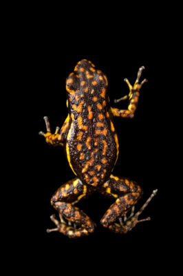 Photo: A mindo morph of the poison dart frog (Epipedobates darwinwallacei) at Centro Jambatu in Quito, Ecuador.