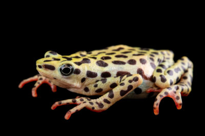 Photo: A female critically endangered Rio Pescado stubfoot toad (Atelopus balios) at Centro Jambatu in Quito, Ecuador.