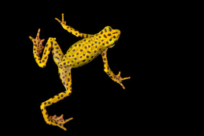 Photo: A male critically endangered Rio Pescado stubfoot toad (Atelopus balios) at Centro Jambatu in Quito, Ecuador.