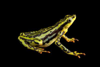Photo: An endangered female elegant stubfoot toad (Atelopus elegans) at Centro Jambatu in Quito, Ecuador.