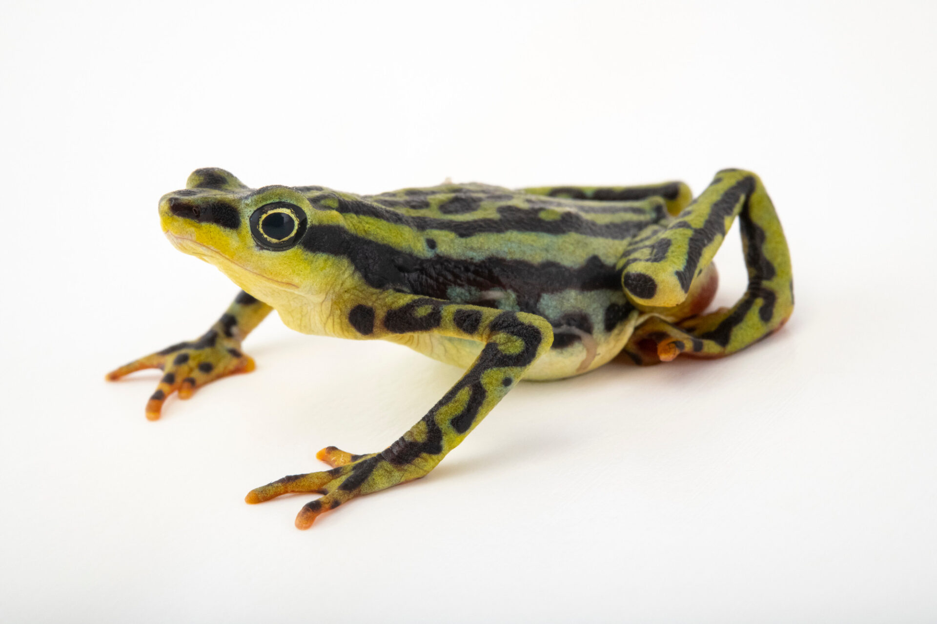 Photo: An endangered female elegant harlequin frog (Atelopus elegans) at Centro Jambatu in Quito, Ecuador.