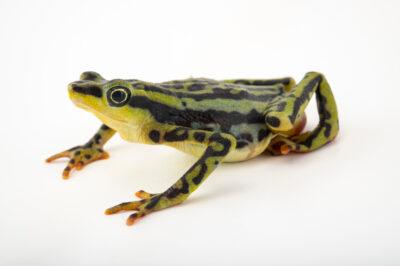 Photo: An endangered female elegant harlequin frog (Atelopus elegans) at Centro Jambatu in Quito, Ecuador.