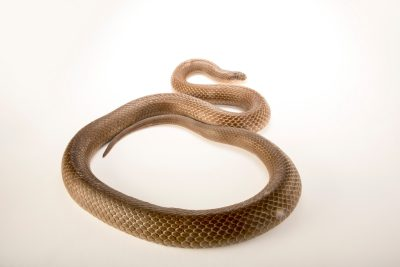 Photo: A King brown snake (Pseudechis australis) at Omaha's Henry Doorly Zoo.