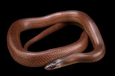 Photo: Ratonel (Pseudoboa neuwiedii) at Piscilago Zoo in Bogota, Colombia.
