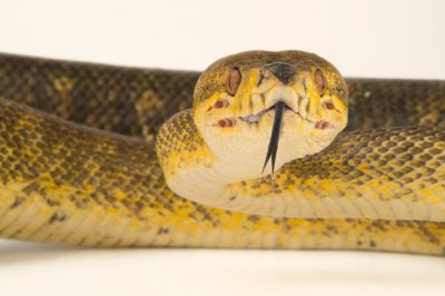 Photo: Central American tree boa (Corallus ruschenbergerii) at Piscilago Zoo in Bogota, Colombia.