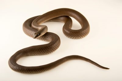 Photo: Rufous-beaked snake (Rhamphiophis oxyrhynchus) at the Naples Zoo.
