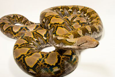Photo: A 200-lb reticulated python (Broghammerus reticulatus) at the Naples Zoo in Naples, Florida.