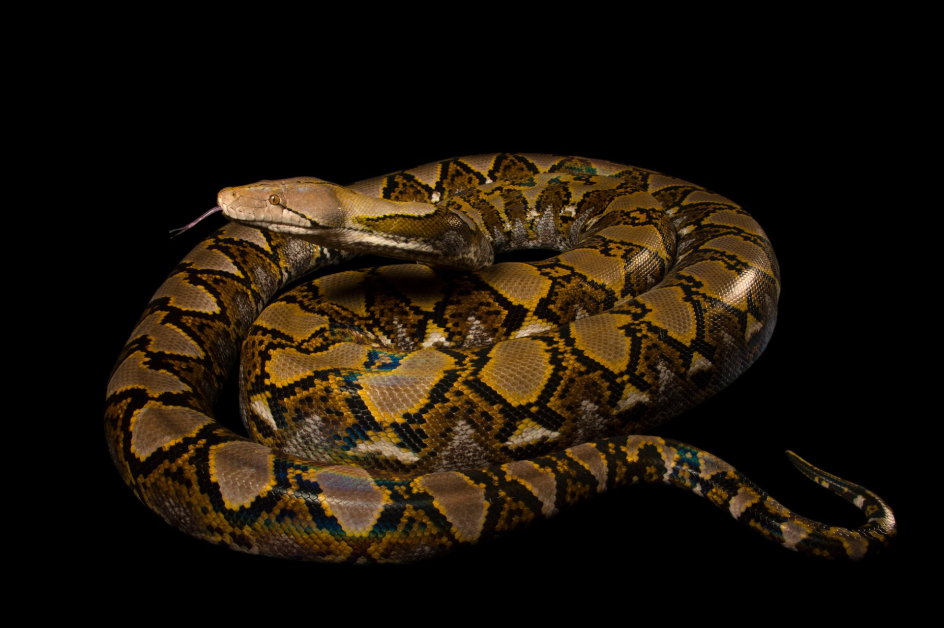 Photo: A 200-lb reticulated python (Broghammerus reticulatus) at the Naples Zoo.