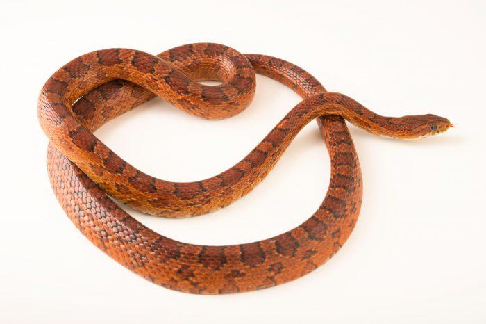 Florida corn/rat snake (Pantherophis guttatus) at the Conservancy of Southwest Florida in Naples, Florida.