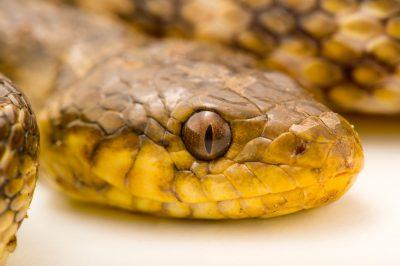 Photo: A Madagascar night snake, Madagascarophis colubrinus, at Tsimbazaza Zoo.