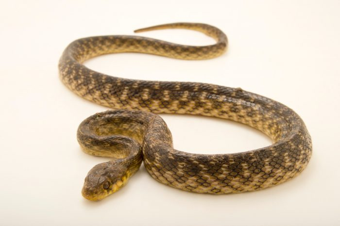 Photo: A Madagascar night snake, Madagascarophis colubrinus, at Tsimbazaza Zoo.