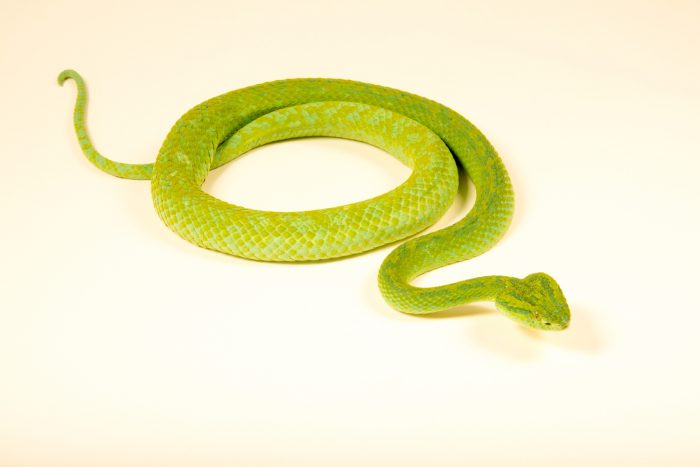 Photo: An endangered March's palm pitviper (Bothriechis marchi) at the London Zoo.