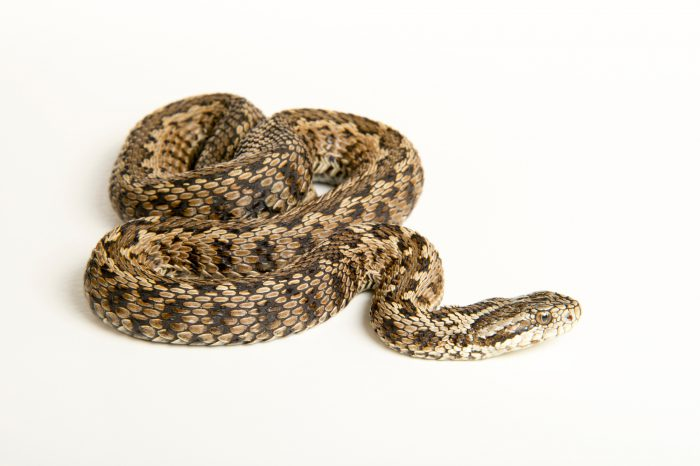 Photo: Hungarian meadow viper (Vipera ursinii rakosiensis) at the Budapest Zoo.