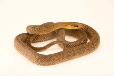 Photo: A Sunda ratsnake (Coelognathus subradiata) at the Dallas Zoo.
