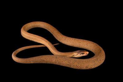 Photo: A yellow-striped trinket snake (Coelognathus flavolineatus) at the Dallas Zoo.