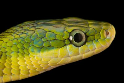 Photo: A green bush rat snake (Rhadinophis prasinus) at the Dallas Zoo.