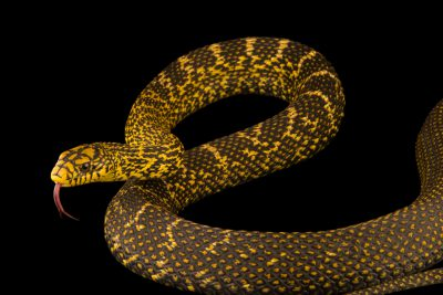 Photo: A king ratsnake (Elaphe carinata) at the Dallas Zoo.