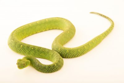 Photo: A West African bush viper (Atheris chlorechis) at the Dallas Zoo.