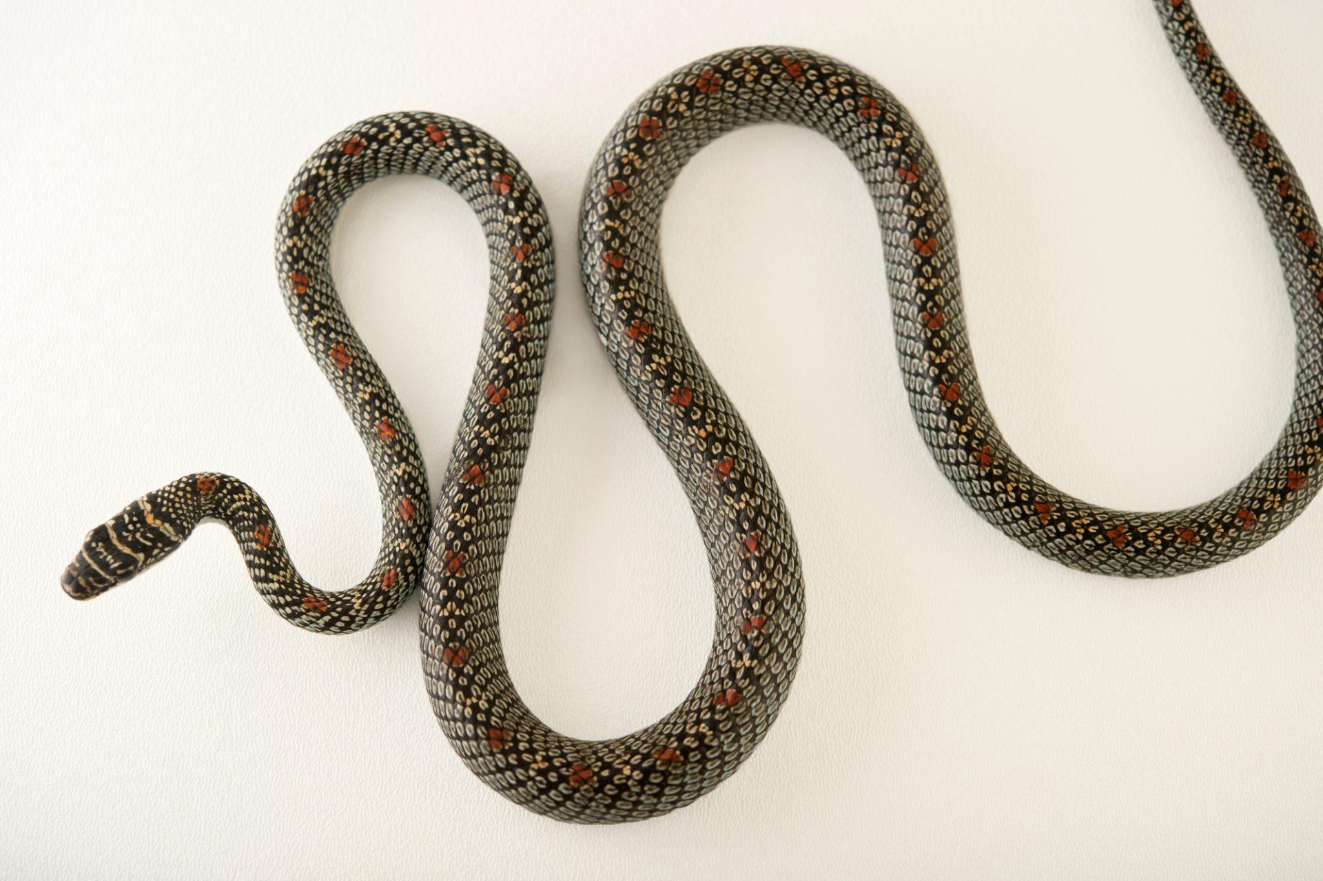 Photo: An ornate flying snake, Chrysopelea ornata ornatissima, at the Assam State Zoo cum Botanical Garden in Guwahati, Assam, India.