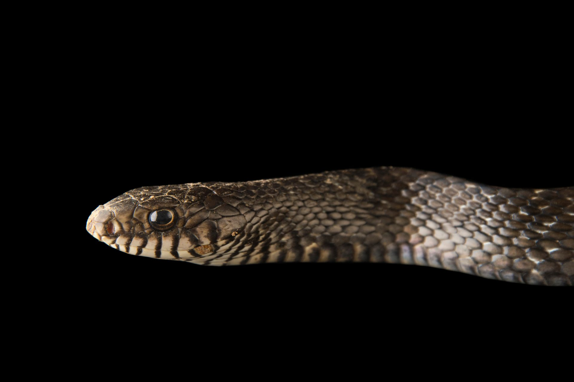 Photo: Indian rat snake, Ptyas mucosus, at the Assam State Zoo in Guwahati, Assam, India.