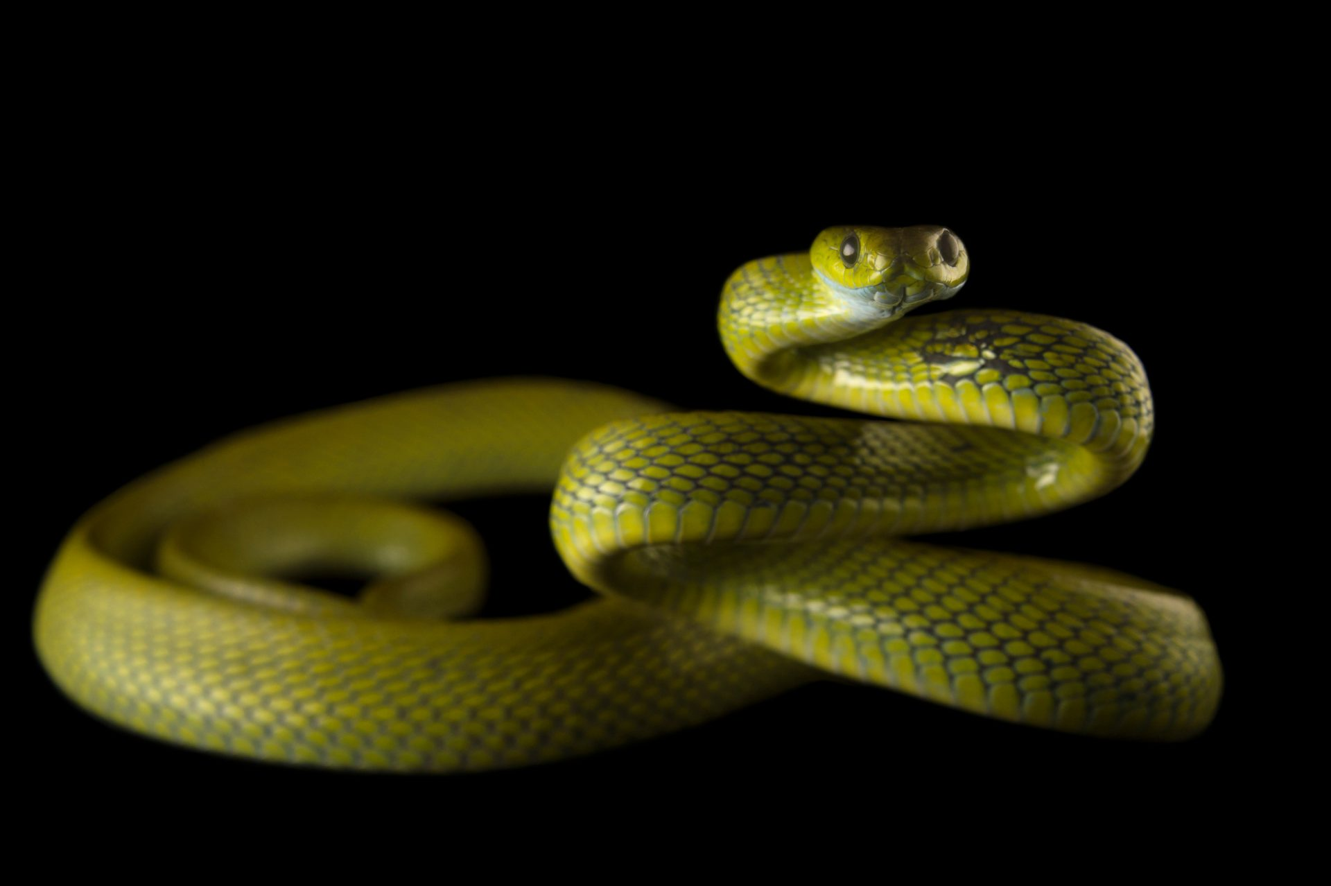 Photo: Green cat snake, Boiga cyena, at the Assam State Zoo in Guwahati, Assam, India.