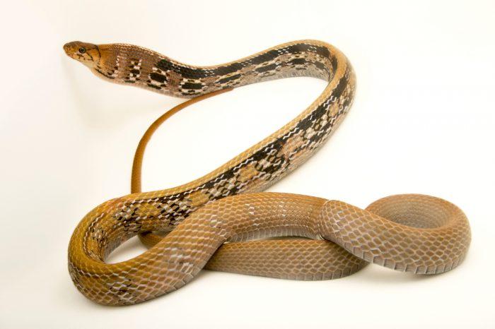 Photo: Copper-headed trinket snake, Coeglanathus radiatus, at the Assam State Zoo in Guwahati, Assam, India.