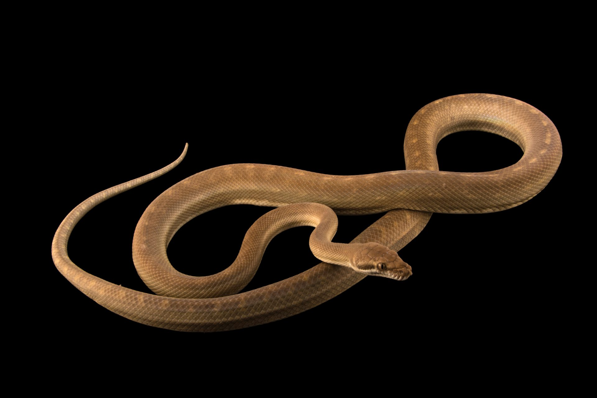 Tanimbar python (Simalia nauta) from a private collection.