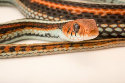 Photo: San Francisco garter snake (Thamnophis sirtalis tetrataenia) at the Exmoor Zoo.