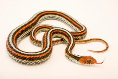 Photo: San Francisco garter snake (Thamnophis sirtalis tetrataenia) at the Exmoor Zoo.