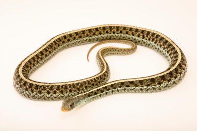 Photo: Eastern garter snake (Thamnophis sirtalis sirtalis) at the Exmoor Zoo.