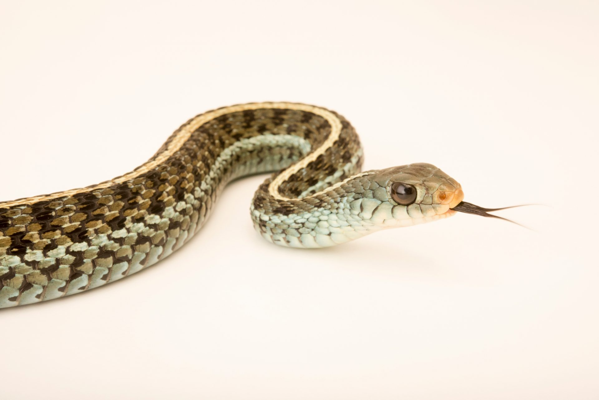 Photo: Eastern garter snake (Thamnophis sirtalis sirtalis) at the Exmoor Zoo.