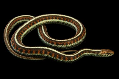 Photo: California red sided garter snake (Thamnophis sirtalis infernalis) at the Exmoor Zoo.