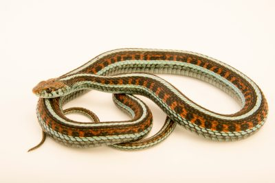 Photo: Red sided garter snake (Thamnophis sirtalis infernalis) at the Exmoor Zoo.