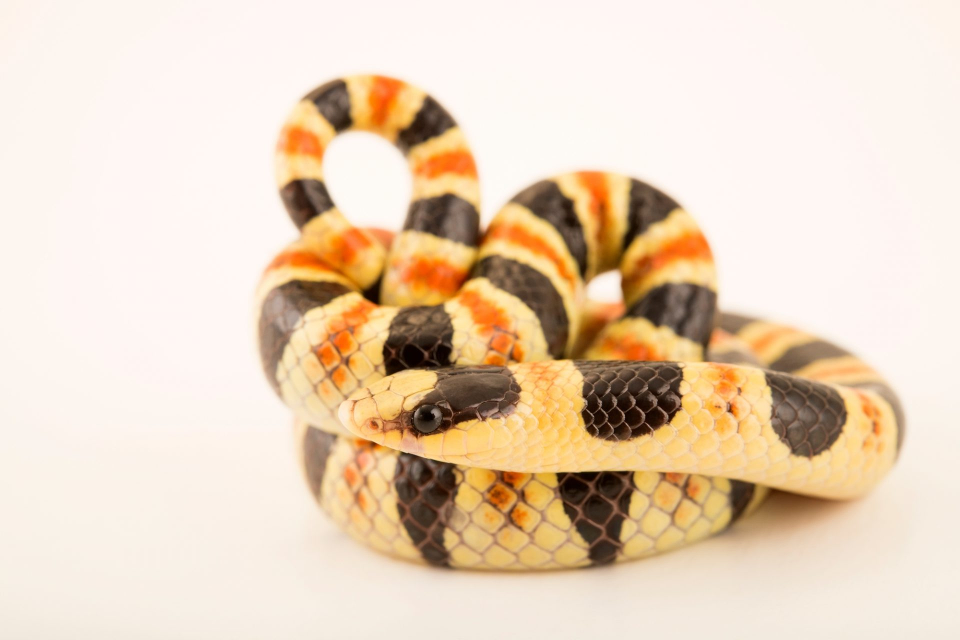 Photo: Colorado desert shovelnose snake, Chionactis occipitalis annulata, at Phoenix Zoo.