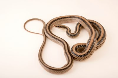 Photo: Mountain patch-nosed snake (Salvadora grahamiae grahamiae) at the Phoenix Zoo.