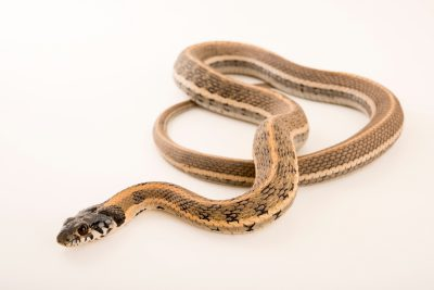 Photo: Black-necked garter snake (Thamnophis cyrtopsis) at the Phoenix Zoo.