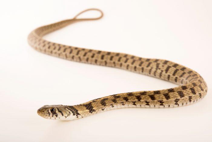 Photo: Checkered garter snake (Thamnophis marcianus) at the Phoenix Zoo.