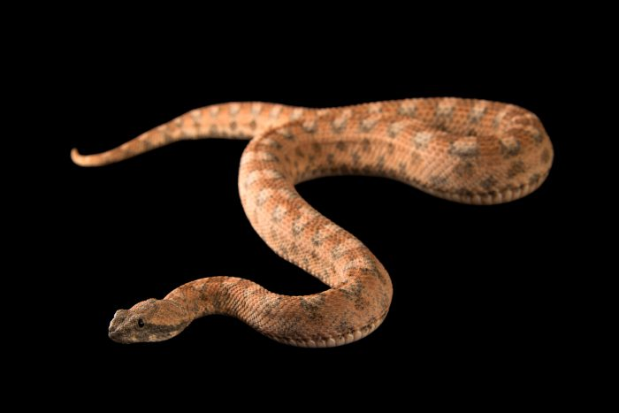 Photo: Saw-scaled viper (Echis coloratus) at the Phoenix Zoo.