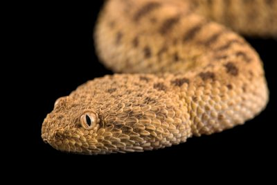 Photo: Saharan sand viper (Cerastes vipera) at the Phoenix Zoo.