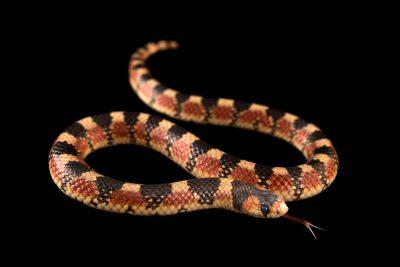 Photo: Desert hooknose snake (Gyalopion quadrangulare) at the Phoenix Zoo.