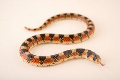 Photo: Desert hooknose snake (Gyalopion quadrangularis) at the Phoenix Zoo.
