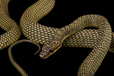 Photo: Paradise tree snake (Chrysopelea paradisi) at the Singapore Zoo.