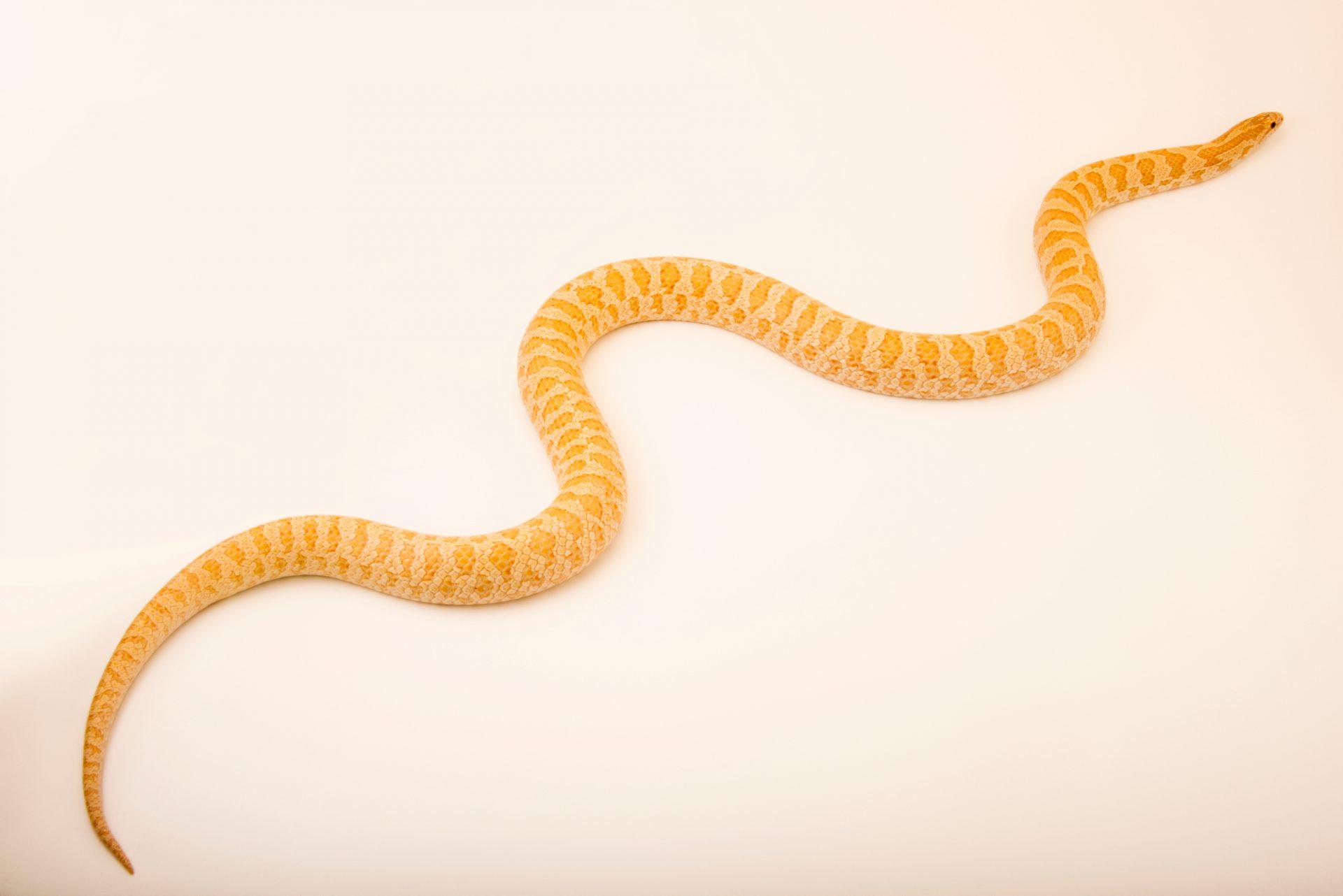 Photo: Albino Prairie King Snake (Lampropeltis calligaster) at the Singapore Zoo.