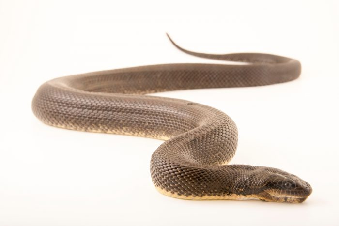 Photo: Puff-faced water snake (Homalopsis buccata) at the Singapore Zoo.