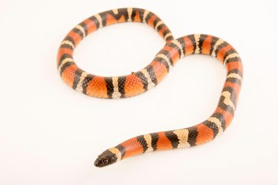 Photo: Cochise milksnake (Lampropeltis triangulum) at the Arizona- Sonora Desert Museum.