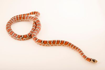 Photo: Chihuahuan mountain kingsnake (Lampropeltis pyromelana knoblochi) at the Arizona-Sonora Desert Museum.