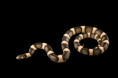 Photo: Western long nosed snake (Rhinocheilus lecontei), claris (clear) phase, at the Arizona-Sonora Desert Museum.